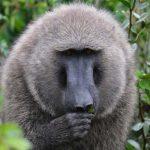 10 days uganda safari, 10 days uganda tour, baboon in kibale, bigodi swamp