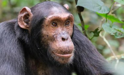 5 days uganda tour, 5 days uganda safari, uganda wildlife safari, uganda gorilla safari, uganda chimpanzee safari, chimpanzee trekking uganda, chimpanzee trekking kibale, ziwa rhino sanctuary, chimpanzee and big five safari, chimpanzee and big five tour, big five animals, big five animals, chimpanzee trekking