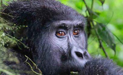 1 day gorilla trek rwanda, 1 day gorilla trekking rwanda, Gorilla trekking rwanda, gorilla tracking rwanda, rwanda gorilla trekking, rwanda gorilla tracking, gorilla safaris, best rwanda gorilla tours, gorilla trek rwanda, gorilla trekking tours, gorilla trek rwanda volcanoes national park, 1 day gorilla tour rwanda, 1 day rwanda gorilla trek