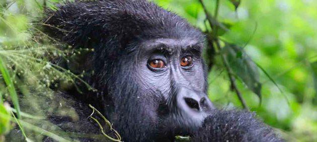 7 days uganda rwanda safari, 7 days uganda rwanda tour, uganda rwanda tours, uganda rwanda safari, gorilla trekking tours, uganda gorilla trekking, gorilla trekking, gorilla tracking, rwanda gorillas, rwanda gorilla trekking