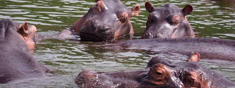 Hippos in lake mburo, lake mburo national park, uganda gorilla safari, gorilla trekking uganda, gorilla and chimpanzee trekking uganda, gorilla trekking bwindi, 15 days uganda tour, 15 days uganda safari, uganda wildlife safari, chimpanzee trekking kibale, ziwa rhino sanctuary, Uganda safari, Uganda tours, Uganda safari tours, 15 days uganda itinerary, Uganda itinerary