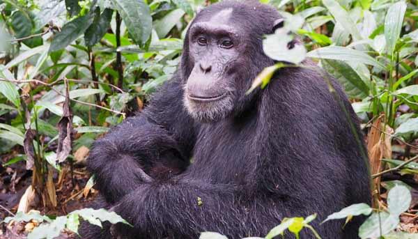 Uganda chimpanzee trekking, chimpanzee tracking, uganda chimps, 7 days uganda tour, 7 days uganda safari, 7 days uganda safari gorillas and wildlife, 7 day uganda safari, murchison falls national park, top of the falls view, boat cruise on river nile, uganda hippos, uganda elephants, uganda wildlife safari, uganda gorilla safari, uganda chimpanzee safari, gorilla and chimpanzee trekking uganda, gorilla trekking bwindi, 7 day uganda itinerary, 7 day uganda tour itinerary, chimpanzee trekking kibale, ziwa rhino sanctuary
