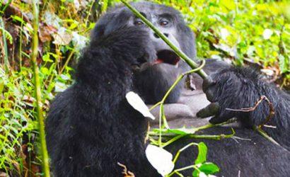 mountain gorillas in mgahinga, gorilla tekking and golden monkey tour, golden monkey habituation, 5 days gorillas and golden monkeys, primate and wildlife safari