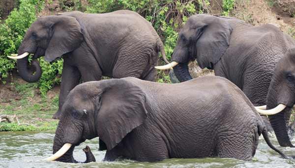 8 days uganda safari, 8 days uganda tour, uganda hippos, queen elizabeth national park animals, kazinga channel animals, kazinga channel uganda, 10 days uganda safari
