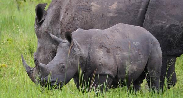 uganda rhinos, 7 days uganda tour, 7 days uganda safari, 7 day uganda safari, 7 days uganda safari gorillas and wildlife, uganda wildlife safari, uganda gorilla safari, uganda chimpanzee safari, gorilla and chimpanzee trekking uganda, gorilla trekking bwindi, chimpanzee trekking kibale, 7 day uganda itinerary, 7 day uganda tour itinerary, ziwa rhino sanctuary