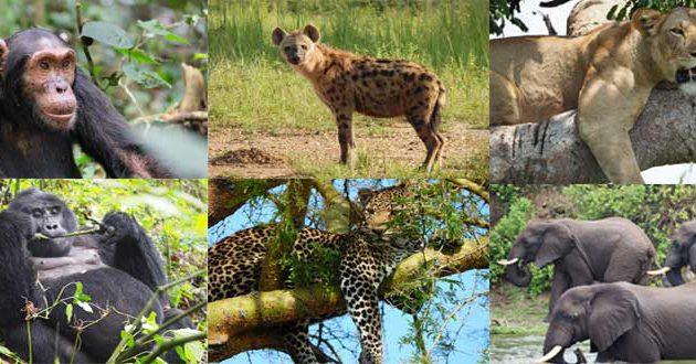 10 days uganda rwanda safaris, 10 days uganda rwanda safari, 10 days uganda rwanda tour, uganda rwanda tour, uganda rwanda safari, 10 days uganda rwanda safaris, uganda rwanda highlights, Gorilla trekking in Rwanda, Best of Gorilla and Primate tour in Rwanda, birding safari in Rwanda, the pearl of africa safari, Gorilla trekking tours uganda, best Gorilla trekking tours Rwanda, gorilla trekks uganda, gorilla tracking in uganda, uganda wildlife tours, uganda wildlife safaris, best gorilla trekking, Chimpanzee tracking in uganda