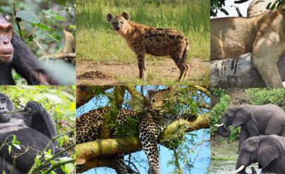 uganda 7 day itinerary, 7 day uganda itinerary, 7 days uganda itinerary, uganda 7 day trip, uganda 7 day tour, gorilla trekking bwindi, gorilla trekking uganda, uganda gorilla, gorilla safari, uganda gorilla safari, chimpanzee tracking, 7 days uganda tour, 7 days uganda safari, uganda hippos, uganda elephants, uganda wildlife safari, uganda gorilla safari, uganda chimpanzee safari, gorilla and chimpanzee trekking uganda, gorilla trekking bwindi, chimpanzee trekking kibale, primate and wildlife tour, primate and wildlife safari Uganda